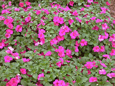 A mass of pink impatiens