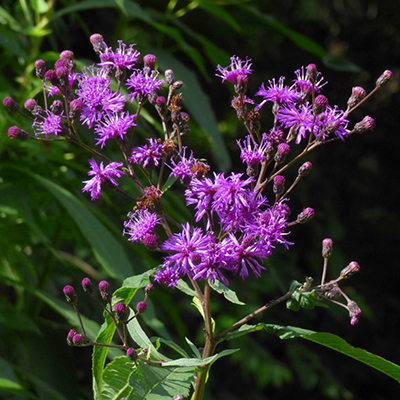 Purple tufted flowers on a weedy looking plant