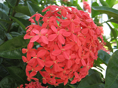 Ixora University Of Florida Institute Of Food And Agricultural