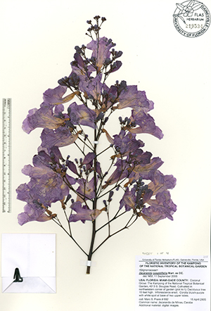 Preserved purple flowers of jacaranda
