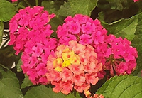 Small photo of five tiny clusters of hot pink flowers