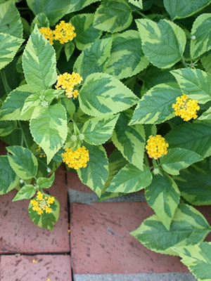 Lantana University Of Florida Institute Of Food And Agricultural