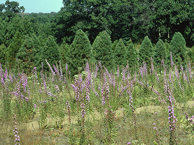 An open field with many purple liatris spikes growing with a backdrop of small evergreen trees
