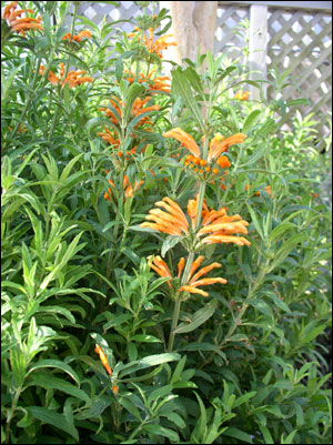 Lion's ear plant with orange flowers