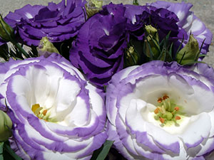 Purple and white lisianthus