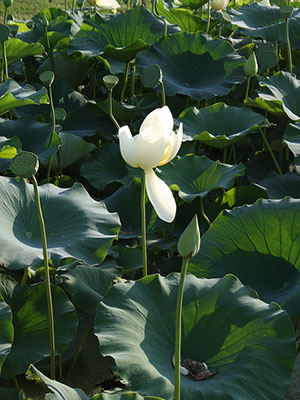 Yellow American lotus flower