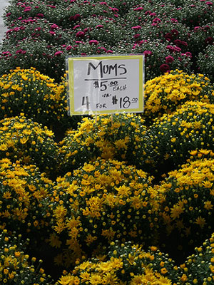 Chrysanthemums university of florida institute of food and way of traditional fall displays from changing of the leaves here in florida so how can you bring those autumnal colors into your fall landscape mums mightylinksfo