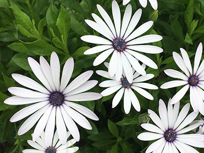 White daisy-like flowers with purple centers