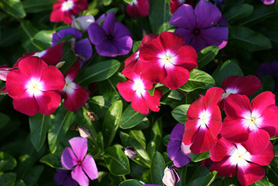 Multicolored periwinkle flowers