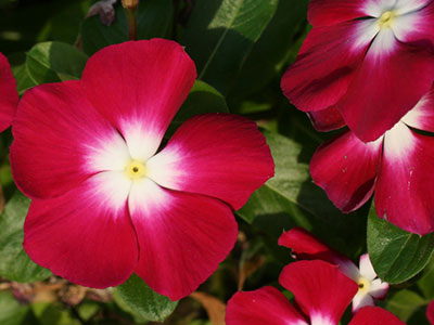 Summer bedding plants university of florida institute of food and perwinkles or vinca mightylinksfo