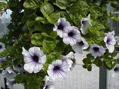 Petunias University Of Florida Institute Of Food And