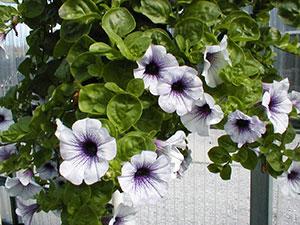 Purple and white petunias