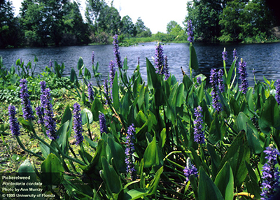 Pickerel weed in bloom by lake