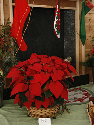 Red poinsettia in a basket in front of a fireplace with stockings hung from the mantle