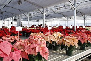 Poinsettias for sale
