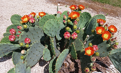 Prickly Pear University Of Florida Institute Of Food And