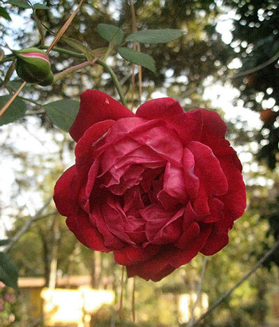 'Louis Philippe' antique rose
