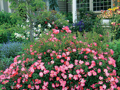 Pink Drift roses in the landscape