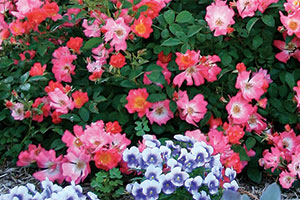 Pink Drift Roses, courtesy of Star Roses and Plants/Conard-Pyle