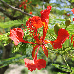 Royal poinciana blossom by Gitta Hasing