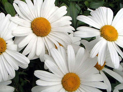 shasta daisy  university of florida, institute of food and, Beautiful flower