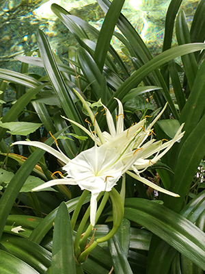 Spider Lily University Of Florida Institute Of Food And