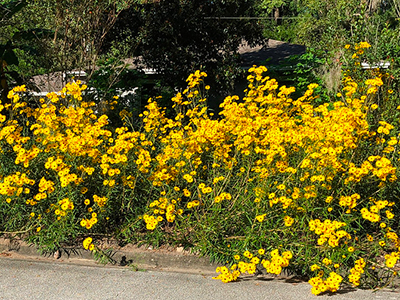 A clump of tall yellow flowers growing in a front yard
