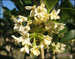 Small white flowers of a tea olive shrub