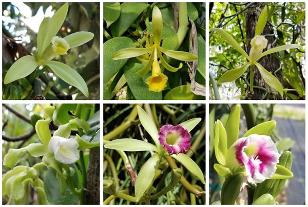 Six photos of orchid description follows text: pale green-yellow, yellow, white, white and short almost stunted looking, pink edges with white throat, pink edges with white throat and again shorter and squatter