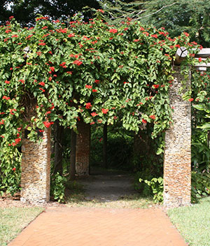 Flowering Vine On A Pergola