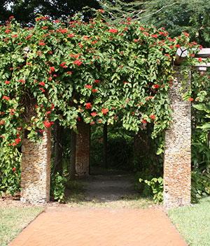 Flowering Vine On A Pergola