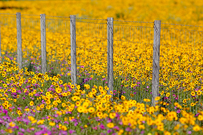 A field full of bright yellow wildflowers