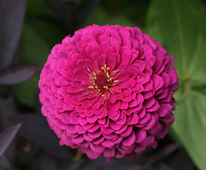 Hot pink zinnia, an annual
