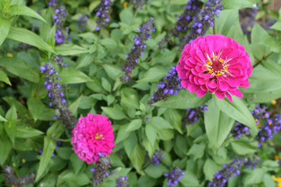 Pink zinnias growing among purple salvias