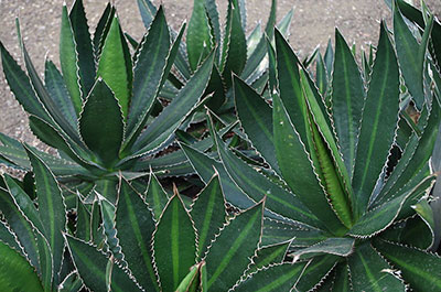 Several agave lophantha plants
