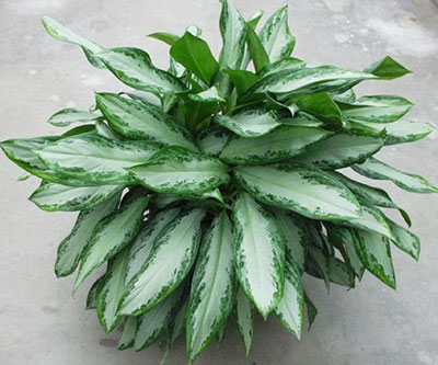 Chinese Evergreen Aglaonema University Of Florida