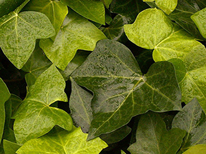 green leaves of algerian ivy