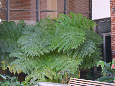 Large green fern outside a shady corner of a building