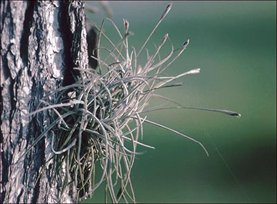 Ball moss growing on the side of a pine tree