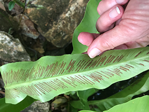 Hand holding a fern frond upside down so as to reveal stripes of brown spores