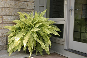 Variegated Boston Fern