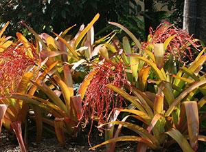 Aechmea Bromeliads
