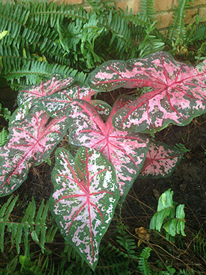 Caladiums University Of Florida Institute Of Food And