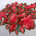 Red Hot caladium
