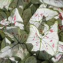 Florida Blizzard caladium