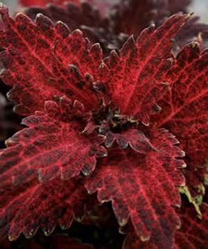 Red frilly coleus