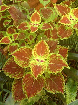 A Gator coleus, by Dr. Dave Clark