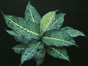 Starry Nights dieffenbachia