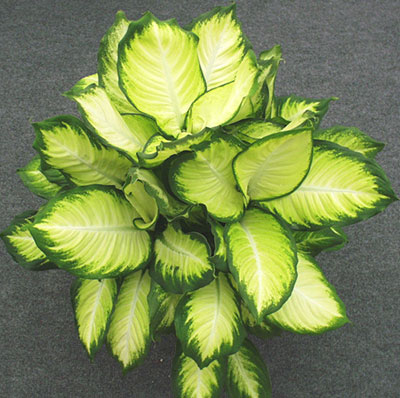 Dieffenbachia - University of Florida, Institute of Food and