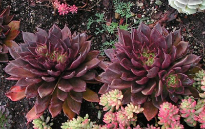 Two red succulent plants